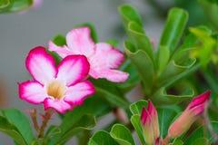 Adenium obesum Blume Heilpflanzen Lizenzfreie Stockfotos