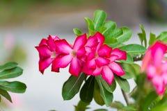 Adenium obesum Blume Heilpflanzen Lizenzfreie Stockfotografie