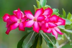 Adenium obesum Blume Heilpflanzen Lizenzfreies Stockfoto