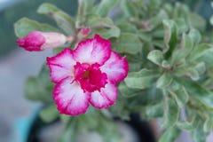 Adenium obesum Blume Heilpflanzen Lizenzfreies Stockbild