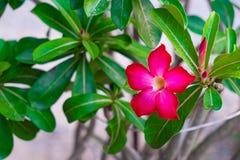 Adenium obesum Blume Heilpflanzen Stockbilder