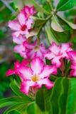 Adenium obesum Blume Heilpflanzen Stockbild