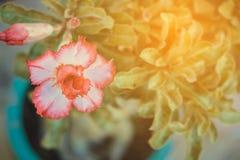 Adenium obesum Blume Heilpflanzen Nicht tun sie schauen lecker Stockfoto