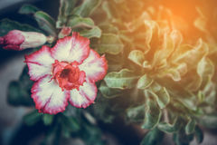 Adenium obesum Blume Heilpflanzen Nicht tun sie schauen lecker Lizenzfreie Stockfotos