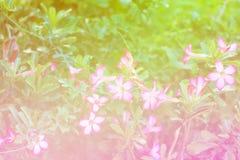 Adenium obesum Blume Heilpflanzen Weicher Ton Lizenzfreies Stockbild