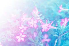 Adenium obesum Blume Heilpflanzen Weicher Ton Stockbild