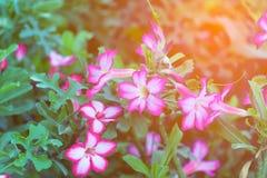 Adenium obesum Blume Heilpflanzen Weicher Ton Lizenzfreie Stockfotografie