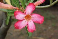Adenium obesum Blume im Naturgarten Lizenzfreies Stockfoto