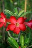 Adenium obesum Blume im Naturgarten Stockbild