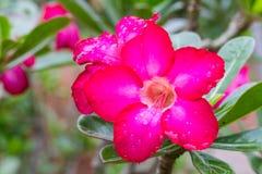Adenium Obesum-Blume, Wüstenrose Stockfotografie
