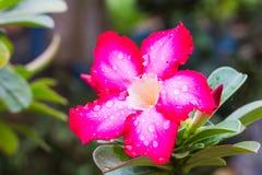 Adenium Obesum-Blume, Wüstenrose Lizenzfreie Stockfotografie