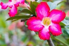 Adenium Obesum-Blume, Wüstenrose Lizenzfreie Stockfotos