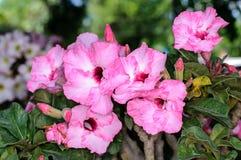 Adenium obesum Blumen Lizenzfreies Stockbild