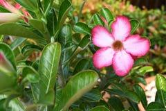 Adenium obesum Blumen im Garten Lizenzfreie Stockfotografie
