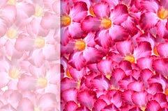 Adenium obesum Blumenmusterhintergrund Lizenzfreies Stockbild