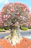 Adenium obesum or Bonsai tree Stock Photos