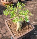 Adenium obesum or Bonsai tree Stock Photography