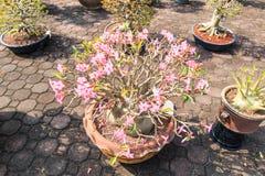 Adenium obesum or Bonsai tree Stock Images