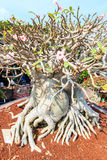 Adenium obesum or Bonsai tree Royalty Free Stock Photography