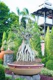 Adenium obesum Bonsaibaum Stockfoto