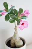 Adenium Obesum Desert Rose Royalty Free Stock Photography