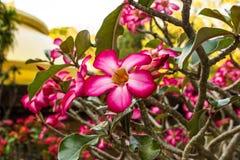 Adenium obesum (Desert Rose) stock photos