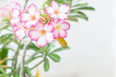 Adenium obesum Royalty Free Stock Photo