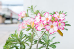 Adenium obesum Royalty Free Stock Photos