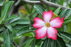 Adenium obesum Royalty Free Stock Images