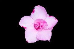 Adenium obesum , Desert Rose, Impala Lily Royalty Free Stock Image