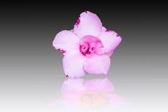 Adenium obesum , Desert Rose, Impala Lily Stock Photography