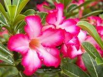 Adenium obesum, Desert Rose, Impala Lily, Mock Aza Royalty Free Stock Photos