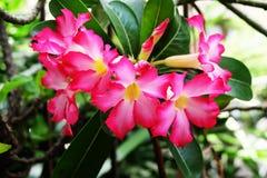 Adenium obesum, Desert Rose, Impala Lily, Mock Azalea Stock Photos