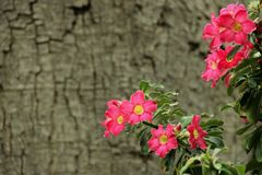 Adenium obesum Stock Photography