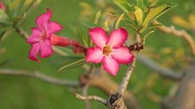 Adenium Obesum Desert Rose Pink Panning High Definition. Adenium obesum also known as desert rose in vibrant pink, panning panoramic high definition stock stock footage
