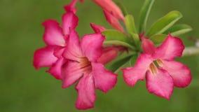 Adenium Obesum Desert Rose Pink Panning High Definition. Adenium obesum also known as desert rose in vibrant pink, panning panoramic high definition stock stock video