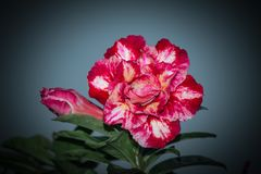 Adenium Obesum Desert Rose stock!. Adenium obesum is a species of flowering plant in the dogbane family, Apocynaceae, that is native to the Sahel regions, south Royalty Free Stock Image
