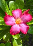 Adenium Obesum flower Stock Images