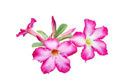 Adenium obesum Flower Royalty Free Stock Photo