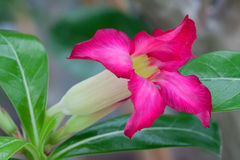 Adenium obesum Stock Photos