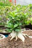 Adenium obesum. On a green farm Stock Image