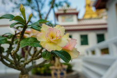 Adenium obesum im Tempel, Bangkok Stockbild