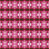 Adenium obesum or Impala Lily Adenium seamless. Pentagram flowers, flowers into bushes seamless use as pattern and wallpaper Stock Photo