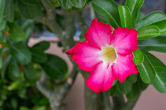 Adenium obesum kwiat w garnka przodzie dom (pustynia Wzrastał) Fotografia Royalty Free