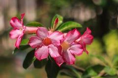 Adenium obesum kwitnie kwitnienie w ogródzie obraz royalty free