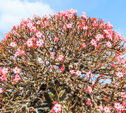 Adenium obesum oder Bonsaibaum Stockfoto