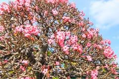 Adenium obesum oder Bonsaibaum Stockbilder