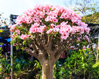 Adenium obesum oder Bonsaibaum Stockfotos