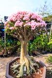 Adenium obesum oder Bonsaibaum Stockbild