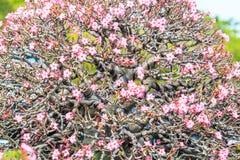 Adenium obesum oder Bonsaibaum Lizenzfreie Stockfotografie